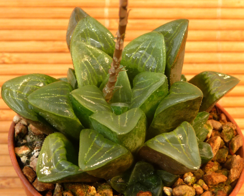Haworthia cv. Flush