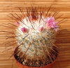 Mammillaria bombycina ML316