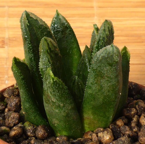 Haworthia cv. Bristle Tips