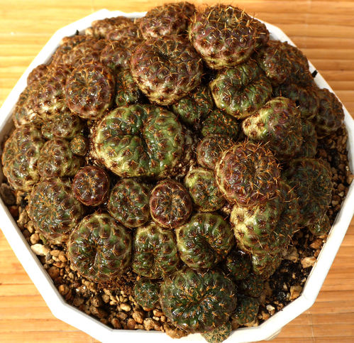 Sulcorebutia rauschii Goldform
