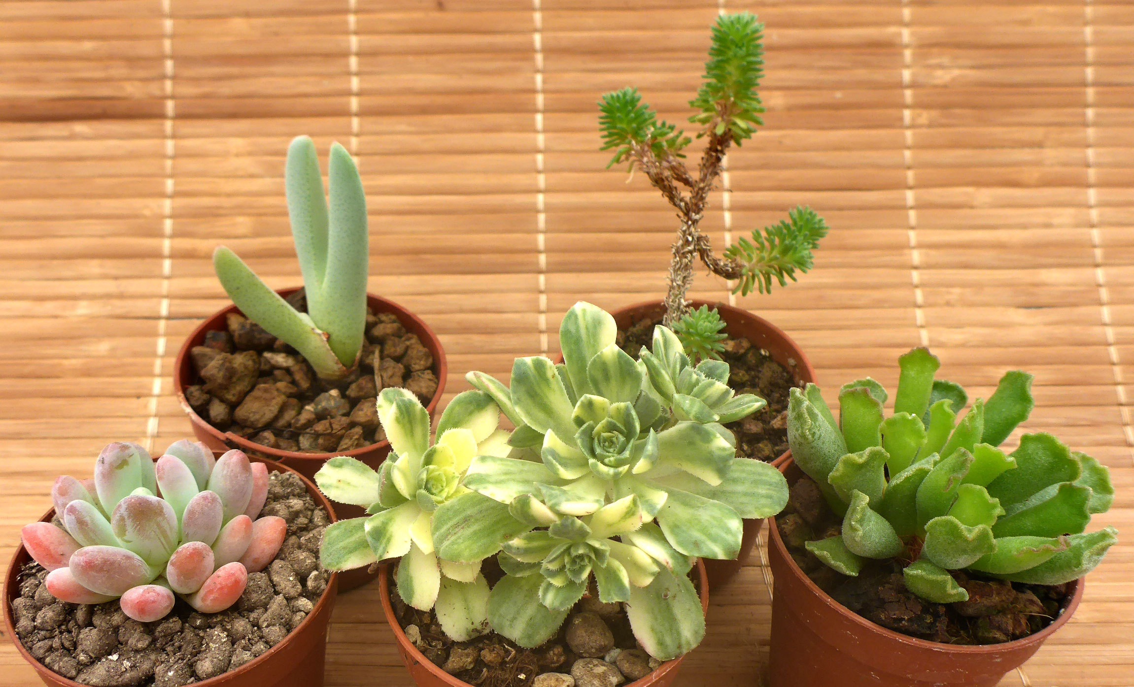 Succulentes-collection